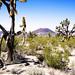 Joshua Trees and Cinder Cones, Mojave Desert, California, United States
