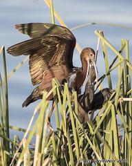 What's In The Fridge (pandatub) Tags: bird bids ibis whitefacedibis woodland nest chick baby