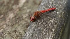 Sympétrum sanguin (sympetrum sanguineum) mâle (pierre.pruvot2) Tags: france maraisdeguînes pasdecalais chemindestêtards odonate insecte arthropode libellule panasonic lumixg9 olympus60mmmacro dragonfly