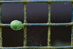 Larve de punaise verte (palomena prasina) au dernier stade (pierre.pruvot2) Tags: france pasdecalais guînes panasonic lumixg9 olympus60mmmacro macro arthropode insecte punaise