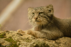 Manul (Coco M.) Tags: nikon d7100 sigma 150500 nature animals animaux felin cat parcdesfélins zoo chat chatsauvage chatdepalace