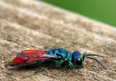 Ruby-tailed wasp (PJ Swan) Tags: ruby tailed wasp chrysis ignita insect colourful pretty