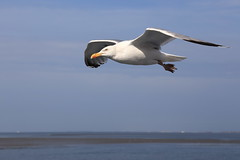 Vogelwelt auf Langeoog (ernst.ruhe) Tags: möwen möwe langeoog vögel