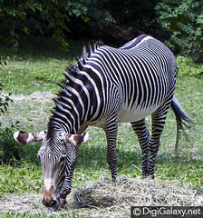 Zebra (Prvnr) Tags: zebra zebras zebrastripes zebrahead zebrasofinstagram zebralove zebralife thisisafrica onlyafrica africansafari africanamazing africanfauna africanportrait wildlifecentral wildlifeeverywhere wildgeography ilovewildlife wildlifeseekers wildlifekings wildlifesafari natureanimal naturewildlife worldwidenaturelove bestnatureshot animalsfocus animalsgram animalsaddict animalslove safari wildlifephotography