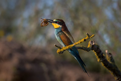 European bee-eater (JS_71) Tags: nature wildlife nikon photography outdoor bird new summer see natur pose moment outside animal flickr colour poland sunshine beak feather nikkor d500 wildbirds planet global national wing eye watcher