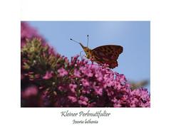Kleiner Perlmuttfalter (ernst.ruhe) Tags: issoria issorialathonia lepidoptera schmetterlinge inseketen insektenmakro insecta edelfalter