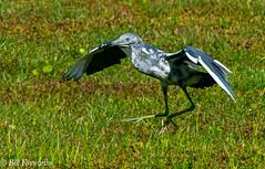 SONY-ILCE-A9,  Little Blue Heron,   00722 ,July 19, 2019 (Bill Foxworthy) Tags: bird blue heron cattle egret fla florida wild woods