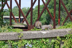 Making a New Friend (AvR Digital Photography) Tags: squirrel bridge erie canal genesee valley park hot summer july nature