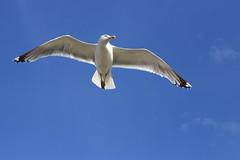 Vogelwelt auf Langeoog (ernst.ruhe) Tags: möwen möwe vögel vogel langeoog
