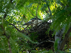 Black crowned Night Heron (Lisa Saffell) Tags: birds herons nature nest rookery
