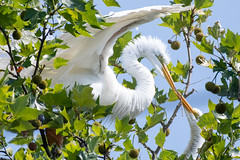 Great Egrets building a nest (Lisa Saffell) Tags: birds herons nature nest rookery