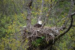 Nesting Bald Eagle (ap0013) Tags: alaska kodiak kodiakalaska kodiakisland bald eagle baldeagle eaglenest nest nesting animal bird birding wildlife nature usa america