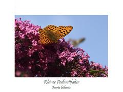 Kleiner Perlmuttfalter (ernst.ruhe) Tags: schmetterlinge lepidoptera schmetterling kleinerperlmuttfalter issorialathonia issoria insektenmakro edelfalter