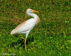 SONY-ILCE-A9,   Cattle Egret,   00716 ,July 19, 2019 (Bill Foxworthy) Tags: bird blue heron cattle egret fla florida wild woods