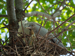 Black crowned Night Heron Fledgling (Lisa Saffell) Tags: birds herons nature rookery