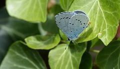 Holly blue / Boomblauwtje (joeke pieters) Tags: 1480863 panasonicdmcfz150 boomblauwtje celastrinaargiolus hollyblue faulbaumbläuling azurédesnerpruns vlinder butterfly schmetterling papillon