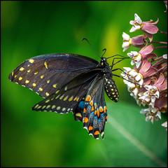 Eastern Black Swallowtail (Rodrick Dale) Tags: eastern black swallowtails butterfly milkweed toronto ontario canada