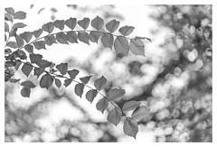 A walk in the woods (leo.roos) Tags: arty bokeh blad bos 85 curv darosa canonfd85mm112l canonfd8512l leoroos a7rii leaves leaf noiretblanc swirly