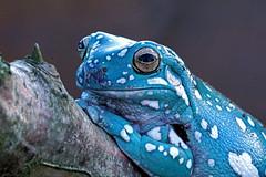 DSC06724 (Argstatter) Tags: frogs frosch korallenfinger baumfrosch makro bokeh tier blau natur