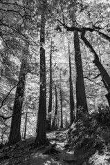 Muir Woods - Infrared (shollingsworth) Tags: infrared muir woods muirwoods hollingsworth stephenhollingsworth sonynex3 digital bw blackwhite trees trail hike sf tall forest layers