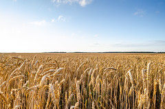 Ears of wheat on a field under a blue sky (ivan_volchek) Tags: field sky blue ears wheat harvest golden landscape nobody agriculture bright cereal crop farm nature outdoors plant ripe rural rye scene seed straw summer sunlight vibrant yellow silence clouds country day dry ear horizontal july june spica tranquil view wheatears wheatfield grain panorama scenic bread cloud countryside cultivated