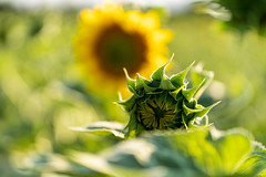 Sonnenblume / Sunflower (watzthomas) Tags: sonnenblume sunflower natur sommer sonne sony sel85f18 blume flowers