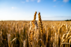 Golden spikelets of wheat close up on the field (ivan_volchek) Tags: field sky blue ears wheat harvest golden landscape nobody agriculture bright cereal crop farm nature outdoors rural seed straw summer sunlight vibrant yellow corn country ear plant ripe rye scene silence clouds day dry horizontal july june spica tranquil view wheatears wheatfield barley grain scenic cloud countryside food gold growth