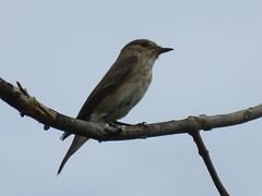 Vogel (unbestimmt) (Aves indet.) (2) (naturgucker.de) Tags: ngidn1701218550 avesindet vogelunbestimmt