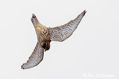 Junger Turmfalke beim Flugtraining (naturgucker.de) Tags: ngidn1821526151 falcotinnunculus turmfalke