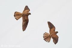 Junge Turmfalkengeschwister bei gemeinsamen Flugspielen (naturgucker.de) Tags: ngidn979266623 falcotinnunculus turmfalke