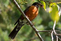 American Robin (R Hardy) Tags: americanrobin crickets spiderlakesprings vancouverisland nestlings