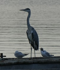 hier treffen sich viele Wasservögel (naturgucker.de) Tags: ngid1417901328 ardeacinerea graureiher