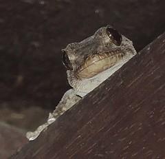 Kanarengecko, Miranda, Brena Alta, La Palma (naturgucker.de) Tags: ngidn1896725233 tarentoladelalandii kanarengecko