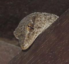 Kanarengecko, Miranda, Brena Alta, La Palma (naturgucker.de) Tags: ngidn2062153730 tarentoladelalandii kanarengecko