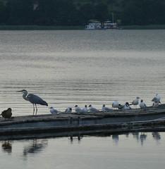schöner Woblitzsee bei Wesenberg (naturgucker.de) Tags: ngidn1113640283 ardeacinerea graureiher