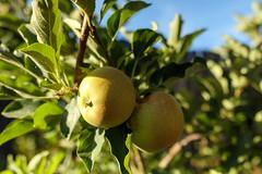 Apples (f/2) (thetechhimself1) Tags: samyang21mmf14edasumccs samyang21mm rokinon21mm eosm6 manualfocus f2 apple tree bokeh leaves