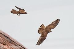 Junge Turmfalkengeschwister bei gemeinsamen Flugspielen (naturgucker.de) Tags: ngidn2132431768 falcotinnunculus turmfalke