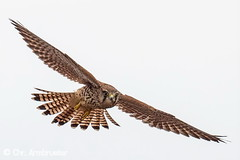 Junger Turmfalke beim Flugtraining (naturgucker.de) Tags: ngid839348976 falcotinnunculus turmfalke