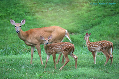 Ears Up!  What is all that clicking????? (Walt Snyder) Tags: canoneos5dmkiii canonef100400mmf4556l doe deer whitetaildeer whitetail fawn fawns spots whitespots portrait spiritual