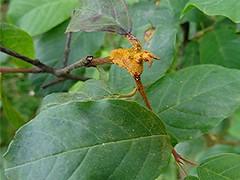 Kronenrost - Puccinia coronata (naturgucker.de) Tags: ngid19446655 pucciniacoronata kronenrost