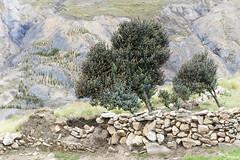 Ocongate (Kusi Seminario) Tags: andes andean peru cusco quispicanchis ocongate southamerica sudamerica latinamerica travel tree arbol wall stonewall cerco