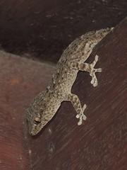 Heute mischt er sich mal unter die Leute (naturgucker.de) Tags: ngidn480244968 tarentoladelalandii kanarengecko