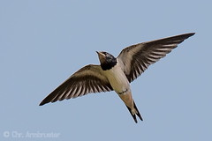 Junge Rauchschwalbe (Hirundo rustica) (naturgucker.de) Tags: ngid1750399116 hirundorustica rauchschwalbe