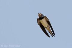 Junge Rauchschwalbe (Hirundo rustica) (naturgucker.de) Tags: ngid1951057859 hirundorustica rauchschwalbe
