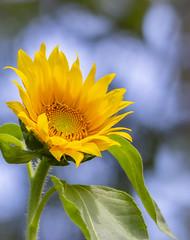 Sunflower (mahar15) Tags: summer yellowflower nature flower outdoors bloom yellow sunflower plant