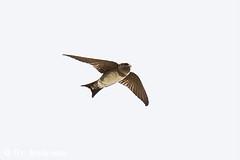 Junge Mehlschwalbe ? (naturgucker.de) Tags: ngidn859474384 delichonurbicum mehlschwalbe