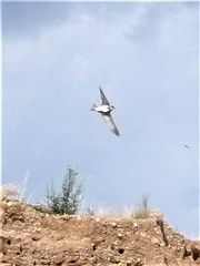 Uferschwalbe 13.07.19a (naturgucker.de) Tags: ngid1118970919 ripariariparia uferschwalbe