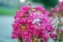 Crepe Myrtle In Bloom. (dccradio) Tags: lumberton nc northcarolina robesoncounty outdoor outdoors outside nature natural july friday summer summertime fridayevening evening goodevening nikon d40 dslr flower floral flowers bloom blooming blossom blossoming blossoms pink crepemyrtle crapemyrtle