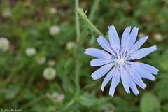 Chicory (Cichorium intybus) (CanebrakeRattlesnake) Tags: chicory cichoriumintybus flower plant