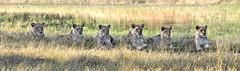 Part of the Selinda Pride (Robert in Colombia) Tags: africa animals travels wildlife botswana afrika reise wildetiere wildnis
